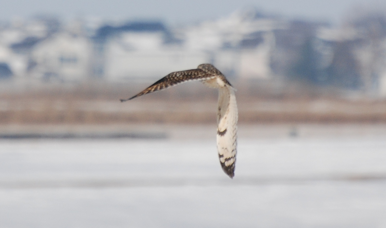 short eared owl on Curtis west of Champaign neear the golf-course;