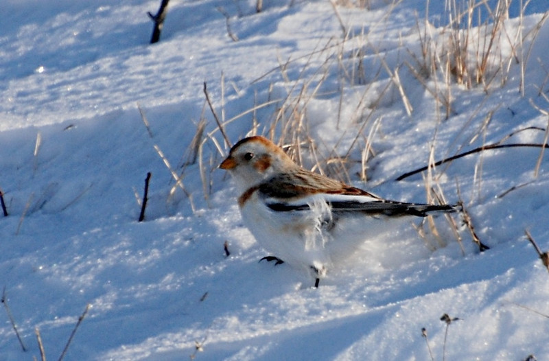snow bunting west of Champaign; there were flocks almost every square mile