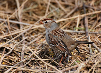 white crowned sparrow, young