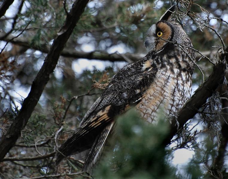 long eared owl, UI arboritum; Feb 15