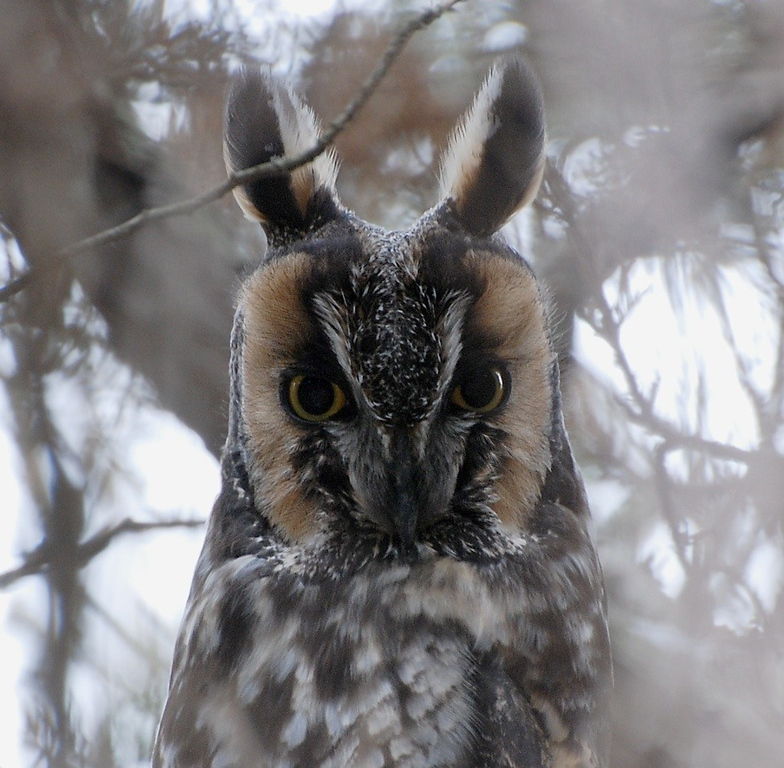 long eared owl