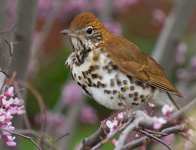 Woodthrush in spring redbug