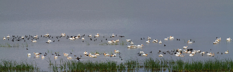 Waterbirds at Emiquon Preserve
