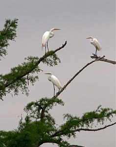 Great white egrets at Mermet Lake–Sue Post