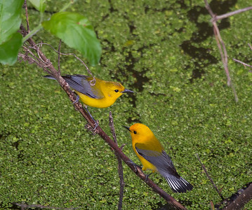 Courting prothonotary warblers on Cache River