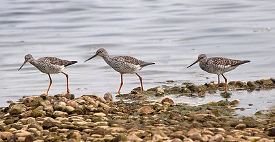 Yellowlegs at Emiquon