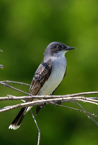 Territorial male kingbird surveys his territory