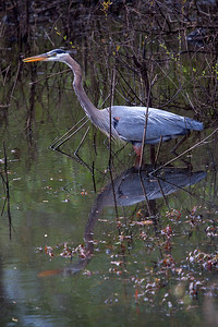 Great blue herons spend most of the winter stalking prey  in southern Illinois