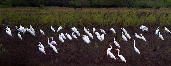 Egrets gather for migration each fall at Cypress Creek National Wildlife Refuge