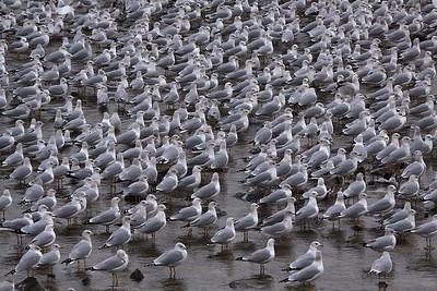 Gull Gathering