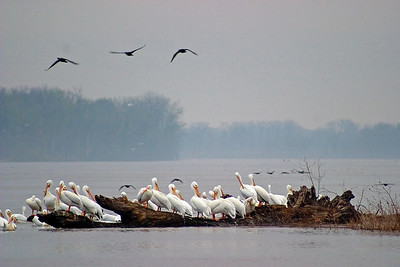 White pelicans along Illinois River