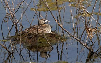 Nesting pied bill grebe