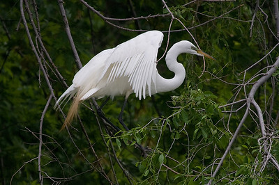 Great white egret at nest