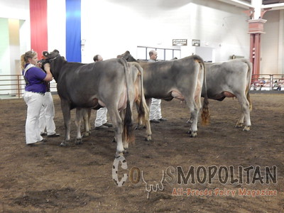 IL State Fair Brown Swiss Cow 2015