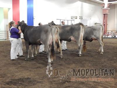 IL State Fair Brown Swiss Cow 2015