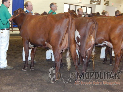 IL State Fair Milking Shorthorn Cows 2015