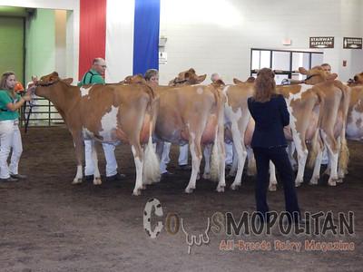 Illinois State Fair Guernseys Cow 2015