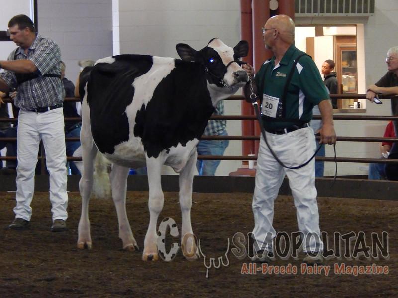 IL_State_Fair_Holstein_Heifers15_ 083