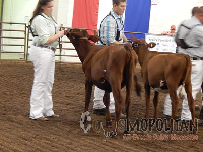 Illinois State Fair Milking Shorthorn Heifers 2015