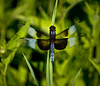 ARB033H                      A male widow skimmer dragonfly rests on a blade of grass at the Schulenberg Prairie, Morton Arboretum, Lisle, IL.