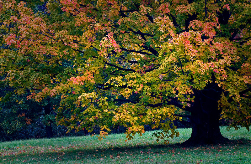 Bulb Meadow Maple