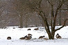 ARB034H                       A winter flock of canada geese rests on a snow covered savana at the Morton Arboretum.