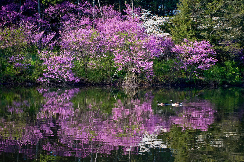 Redbud Reflections on Marmo