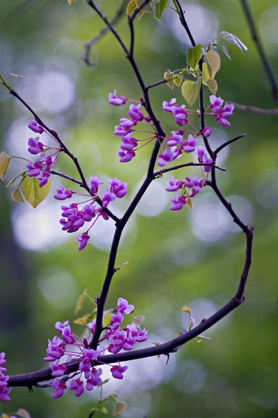ARB030V                        Spring redbud blossoms at the Morton Arboretum.