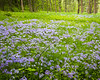 ARB 153H<br /> <br /> Wild phlox puts on a springtime display in a woodland meadow at The Morton Arboretum, Lisle, Illinois.