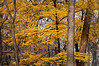 ARB081H                       Maple trees show off their autumn colors in the East Woods of the Morton Arboretum, Lisle, IL.
