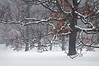 ARB046H                            A rare winter fog enshrouds snow-covered oak trees at the Morton Arboretum, Lisle, IL.
