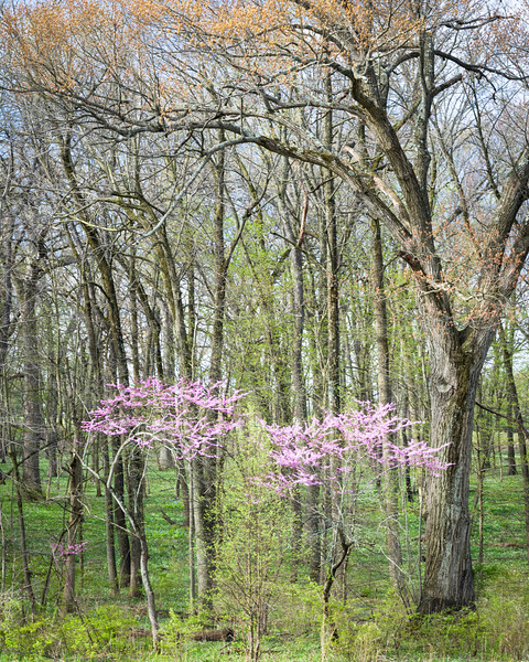 ARB 102V<br /> <br /> The colors of the spring woods are highlighted by the pink blossoms of eastern redbud trees.  The Morton Arboretum, Lisle, Illinois.