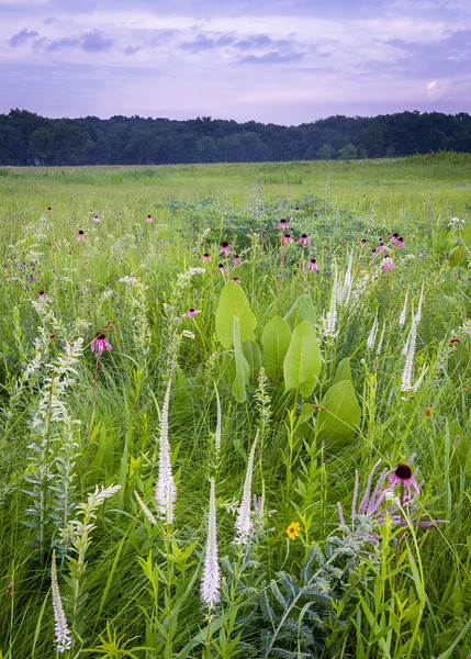 ARB 089V<br /> <br /> Culvers root and purple coneflowers mix with prairie dock and native prairie grasses in the summer prairie.  Schulenberg Prairie, The Morton Arboretum, Lisle, Illinois.