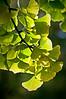 ARB013V                      Ginkgo tree leaf detail.