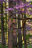 Redbud in the Pines