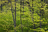 ARB057H                       The woods turns a vibrant shade of green as new spring growth emerges, Morton Arboretum, Lisle, IL.