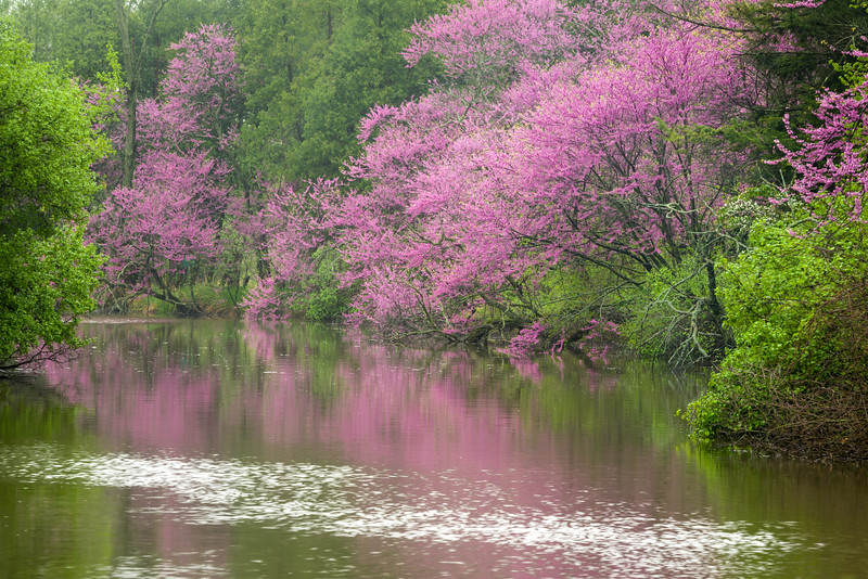 ARB 139H     <br /> <br /> Eastern redbud trees glow in morning light on the shore of Lake Marmo at The Morton Arboretum, Lisle, Illinois.