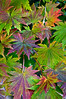 ARB006V                       Korean Maple leaves form an autumn tapestry.