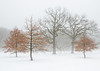 ARB 239H<br /> <br /> Oak trees in a winter fog.  The Morton Arboretum, Lisle, Illinois.