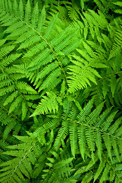 ARB007V                        Fern leaves form a natural pattern.