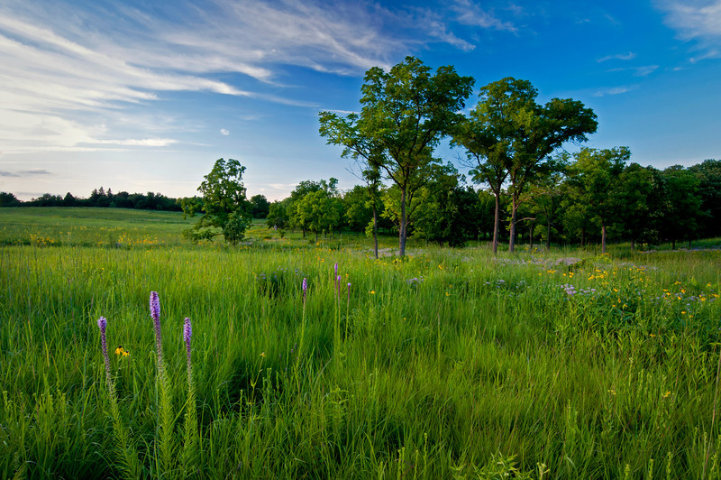 ARB129H                      Blazing star bloom along side a trail through Schulenberg Prairie at The Morton Arboretum in Lisle, Illinois.
