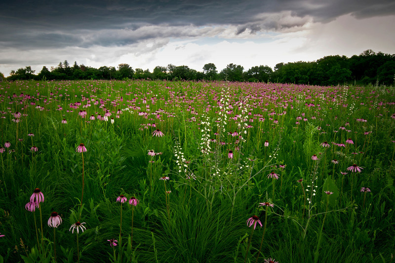 ARB111H                       Stormy skies over Schulenberg Prairie at The Morton Arboretum, Lisle, Illinois.