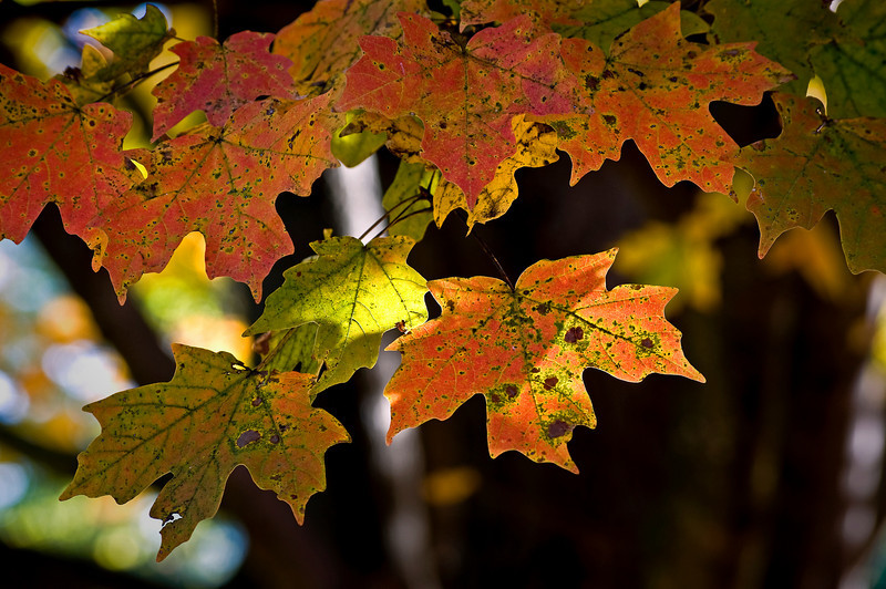 Sugar Maple Leaves II