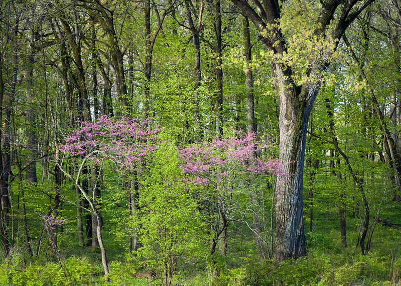 ARB 210H<br /> <br /> The colors of the spring woods glow in early morning light at The Morton Arboretum in Lisle, Illinois.