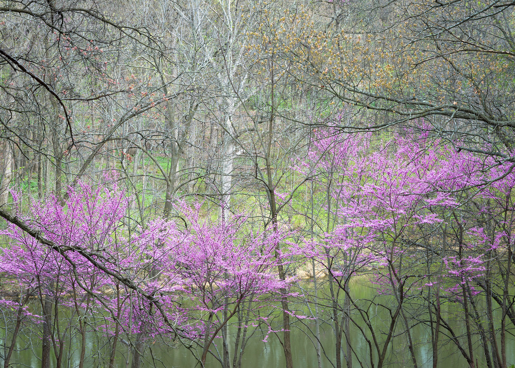 ARB 182H<br /> <br /> Eastern redbud trees at the peak of their spring bloom provide a splash of color to the shoreline of Sterling Pond at The Morton Arboretum in Lisle, Illinois.