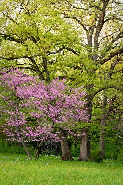 ARB052V                       Redbud trees bloom beneath the spring canopy, Morton Arboretum, Lisle, IL.