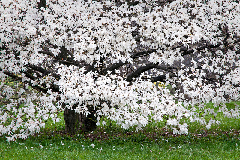 ARB125H                     Magnolia trees greet the spring with their showy display, The Morton Arboretum, Lisle, Illinois.