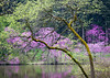 ARB 185H<br /> <br /> Flowering eastern redbud trees light up the shoreline of Lake Marmo on a spring morning.  The Morton Arboretum, Lisle, Illinois.