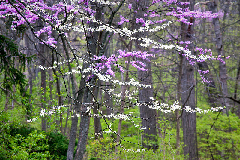 ARB098H                        The branches of flowering eastern redbud and eastern whitebud trees form beautiful patterns against the spring woods at the Morton Arboretum in Lisle, IL.