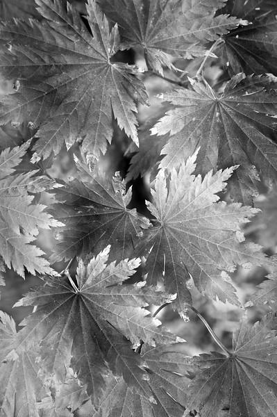 Korean Maple Leaves II